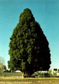 Abarqu_Cypress_Tree_200