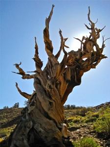 Bristlecone tree