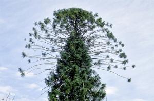 themonkeypuzzletree