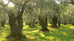 mature-olive-grove