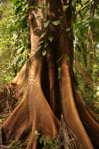 Ceiba, tropical tree, Tayrona National Park