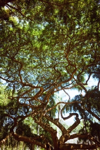 The spreading crown of the old ficus of Benjamin in Paradeniya Royal Botanical Garden of Kandy, Sri Lanka
