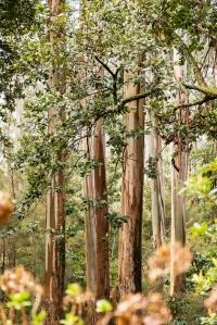 laurel trees on madeira