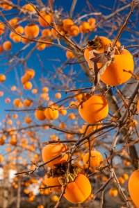 Bright persimmons on the branches.
