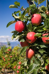 Vertical Photo of Red Delicious Apples in Orchard Setting
