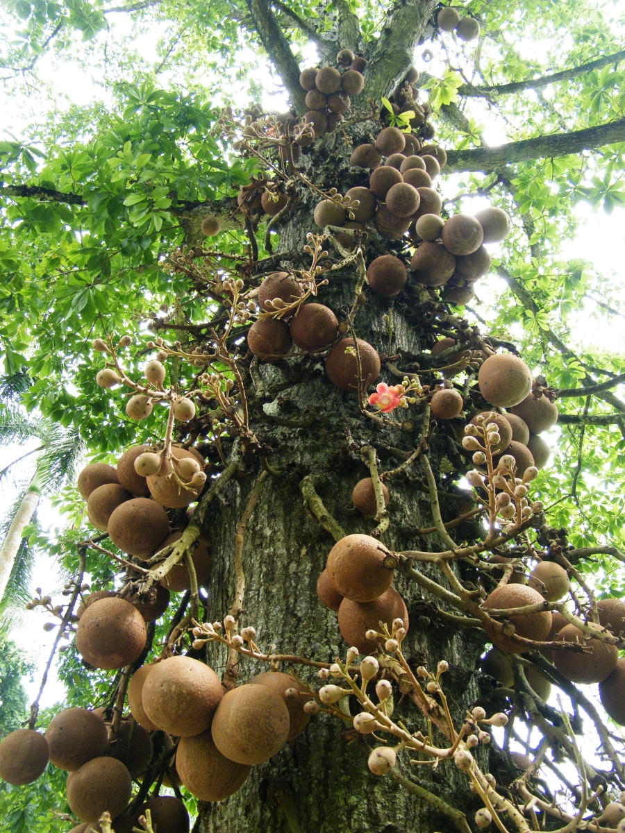 Brazil Nut Preparing Tree Spirit Wisdom