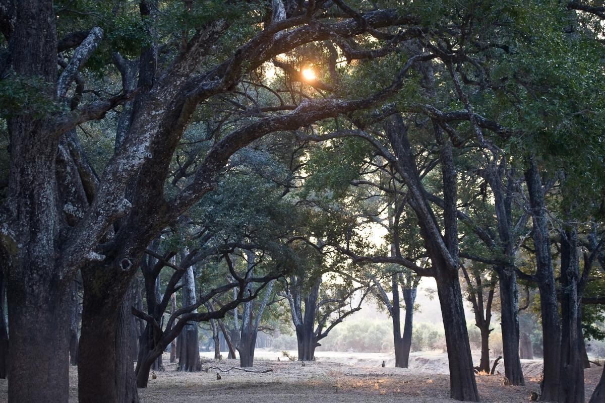 nyanlända handla bästsäljare kolla upp Ebony – Tree Spirit Wisdom