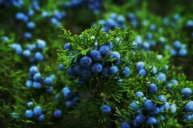 Ripe berries on a juniper bush.